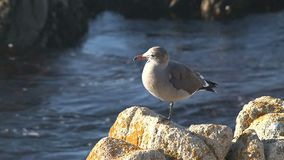Gull at the rocks Westcoast, California, United States stock footage