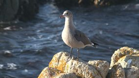 Gull at the rocks Westcoast, California, United States stock video