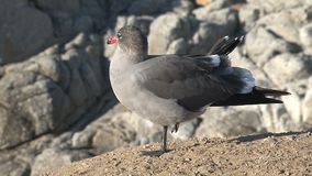 Gull at the rocks Westcoast, California, United States stock video footage