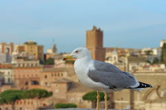 The Gull Stock Images