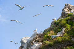 Gull rookery Stock Images