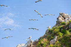 Gull rookery Royalty Free Stock Image