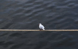 Gull on a rope Royalty Free Stock Images