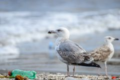 Gull between rubbish on beach at naples stock photography