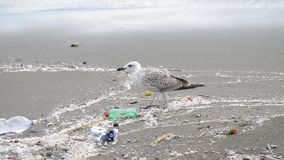 Gull between rubbish on beach at naples stock footage