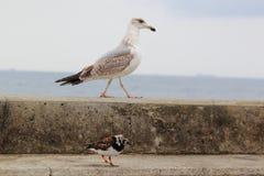 Gull and ruddy turnstone Stock Images