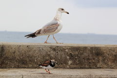 Gull and ruddy turnstone Stock Images