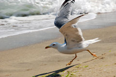 A gull running along a seashore Royalty Free Stock Photos