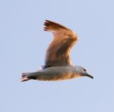 The gull's beautiful flight Stock Image