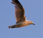 The gull's flight in the evening sky Royalty Free Stock Photo