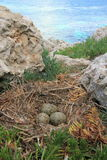 Gull's Nest Stock Photo