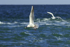 Gull's pirouettes Royalty Free Stock Photography