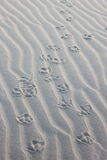 Gull's steps on the Ameland Island Beach, Holland royalty free stock image