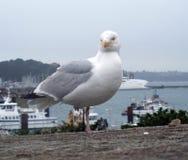 Gull at Saint-Malo Royalty Free Stock Image