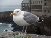 Gull at Saint-Malo Royalty Free Stock Photo