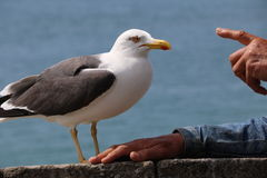 Gull of Saint Malo Stock Photo
