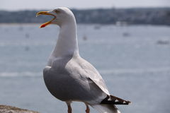 Gull of Saint Malo Stock Photography