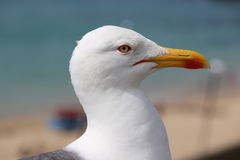 Gull of Saint Malo Royalty Free Stock Photos