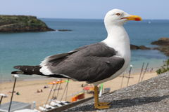 Gull of Saint Malo Stock Photos