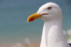 Gull of Saint Malo Royalty Free Stock Images