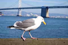Gull at San Francisco Bay Royalty Free Stock Photo