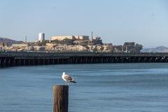 Gull a San Francisco Bay con la vista su Alcatraz immagine stock
