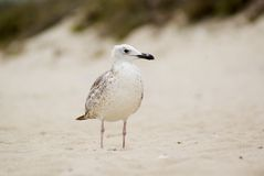 Gull on the sand. Portrait of sea gull on the sand Royalty Free Stock Photos