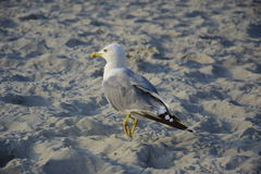 Gull on the sand Stock Photo