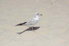 Gull sand Stock Photography