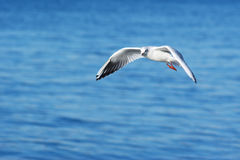 Gull and sea background Royalty Free Stock Image