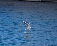 Seagull flight in the water royalty free stock photos