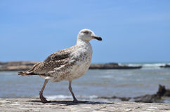 Gull. Sea gull ranning on background of the searn Stock Images
