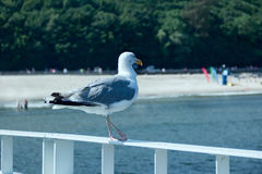 Gull on the sea Royalty Free Stock Photography