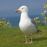 Gull. Seabird on the cliffs of Etretat Stock Image