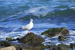Gull on the seacoast Royalty Free Stock Photos