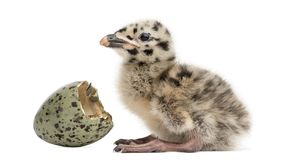 Gull or Seagull with hatched egg, 2 days,. On white Stock Image