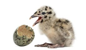 Gull or Seagull with hatched egg, 2 days,. On white Stock Images