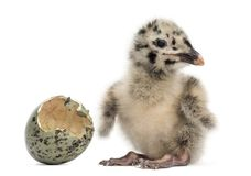 Gull or Seagull with hatched egg, 2 days,. On white Royalty Free Stock Images