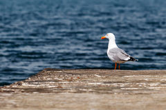 Gull. Seagull on a mooring on a background of the Black Sea royalty free stock photo