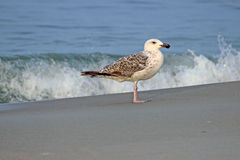 Gull by the Shore Royalty Free Stock Image