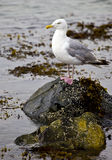 Gull on shore rocks Stock Images