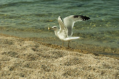 Gull on the shore of the Sea Royalty Free Stock Photos