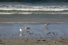 Gull on shore tide royalty free stock image