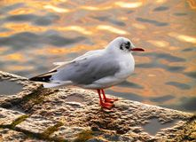 Gull at the sidewalk by the sea royalty free stock images