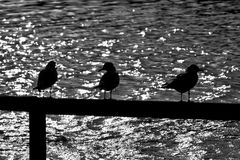 Gull Silhouette. 3 gulls on a fence silhouetted against bright sun reflections from a lake Royalty Free Stock Images