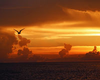 Gull in silhouette against sunset. Gull in silhouette as it flies across a brilliant orange sunset sky Royalty Free Stock Photos