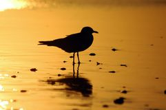 Gull Silhoute Stock Photo