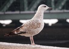 Gull sits on the perapet of the Palace embankment stock photo