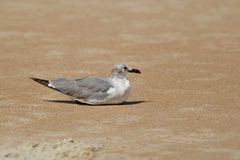 Gull sits in the sand. Royalty Free Stock Photography