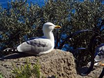 Gull sits on stone. Beautiful gull sits on stone stock images